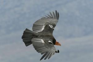 Condor flying-2