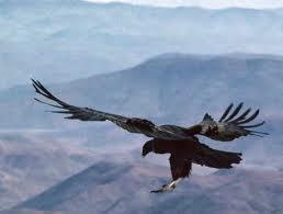 Condor flying