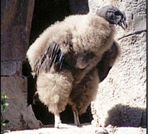 Andean Condor-baby