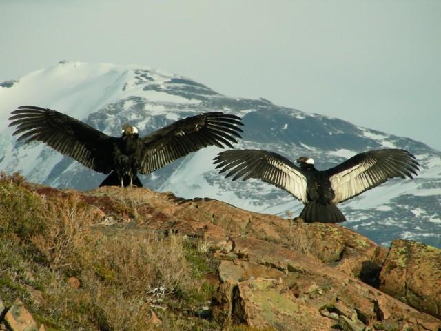 Condor 18