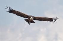 Condor 22