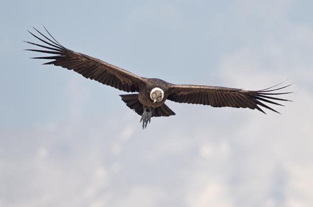 Condor 22.jpg