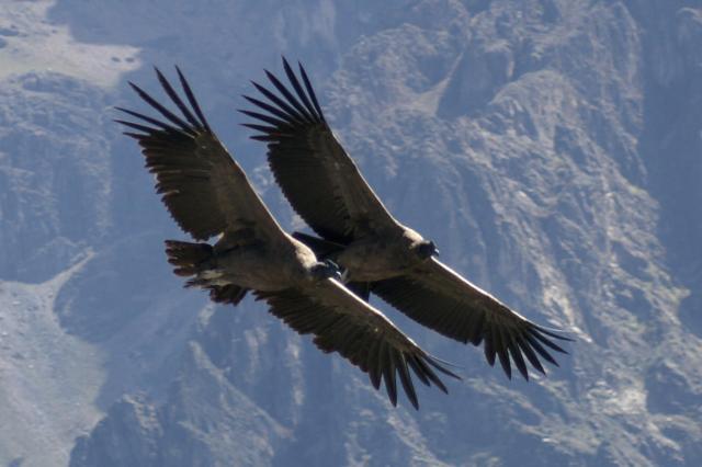 Condor 59